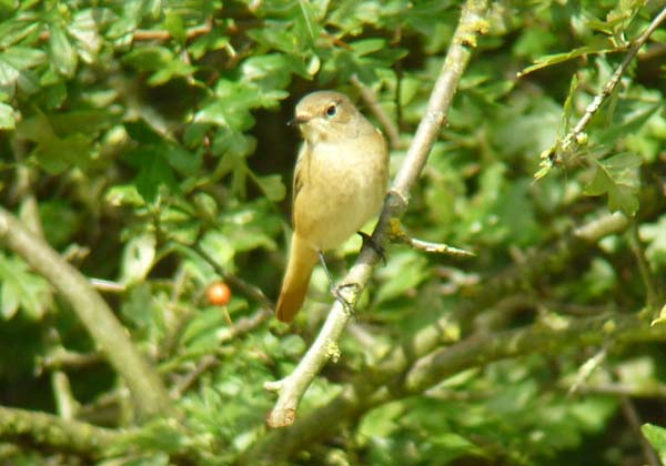 Redstart, Potteric Carr (Richard Collis)