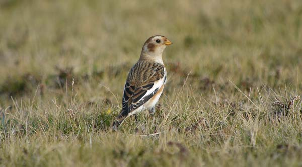 Snow Bunting 2, Bardsey Island, October 2010 (Justin Carr)