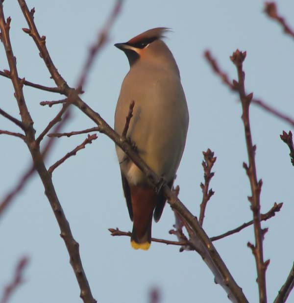 Waxwing, Cantley 16.11.10 (Justin Carr)