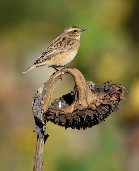 Whinchat Bardsey Island, October 2010 (Justin Carr)