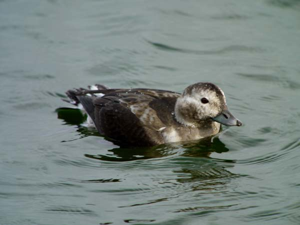 Long-tailed Duck Covenham 20.10.10 (Justin Carr)