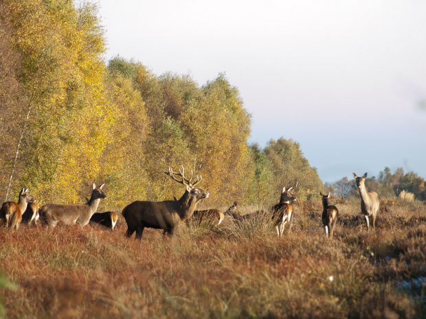 red deer stag and hinds.jpg
